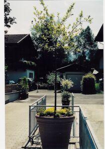Alleeb ume hydrokultur bonsai eschlboeck eschin for Bonsai hydrokultur